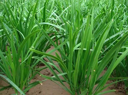 Name:  Garlic Chives Allium tuberosum.jpg Views: 7627 Size:  60.8 KB