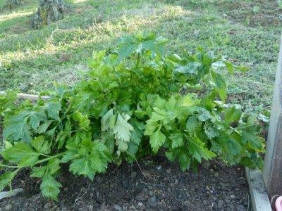 Name:  celery.jpg Views: 4149 Size:  41.3 KB