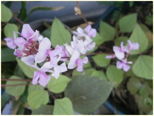 Name:  Lab Lab Sarmaşığı (Lablab purpureus, Synonim  Dolichos lablab) - çiçek.jpg Views: 2476 Size:  31.2 KB