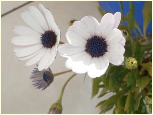 Name:  Bodrum Papatyası (beyaz renk) (Osteospermum sp).jpg Views: 2382 Size:  26.3 KB