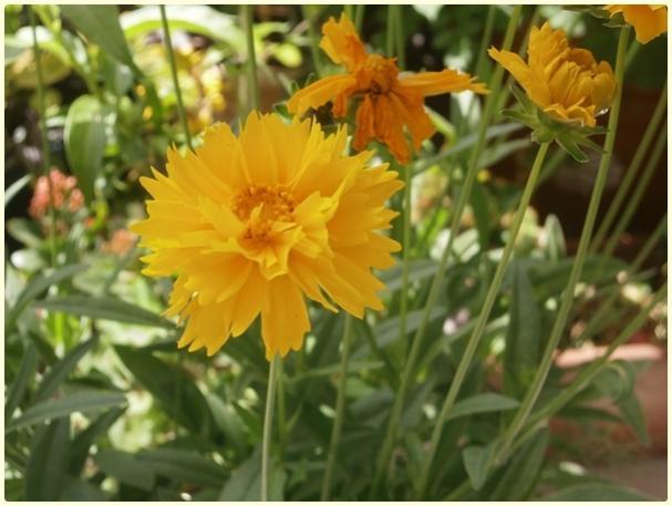 Name:  Kız Gözü (Coreopsis grandiflora) (2).jpg Views: 2358 Size:  41.3 KB