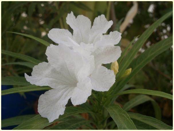 Name:  Meksika Petunyası - (Ruellia brittoniana 'Blanca').jpg Views: 2373 Size:  30.1 KB