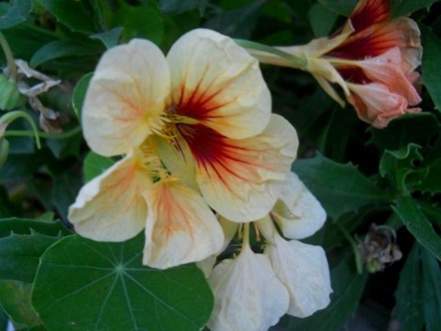 Name:  DSCN7575 latin çiçeği.jpg Views: 1387 Size:  34.4 KB