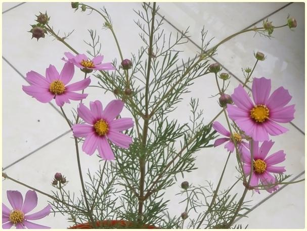 Name:  Pembe Kozmos Çiçeği (Cosmos bipinnatus) - çiçek.jpg Views: 2499 Size:  55.1 KB