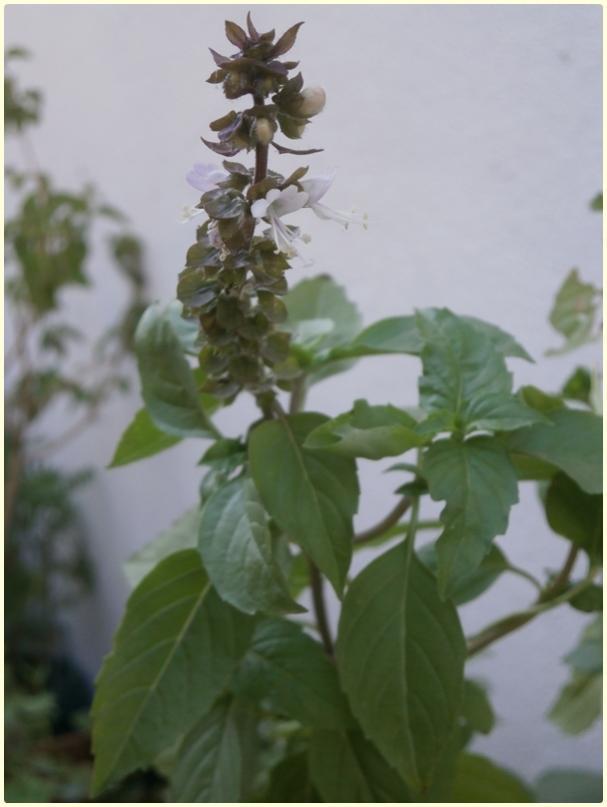 Name:  Reyhan (Ocimum basilicum) - çiçek.jpg Views: 2208 Size:  40.9 KB
