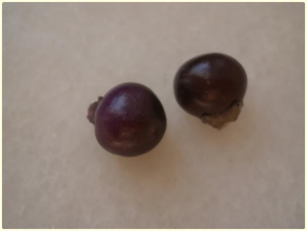 Name:  Mor İnci Biberi (Capsicum annuum) - meyve.jpg Views: 2261 Size:  14.9 KB