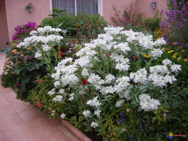 Name:  Euphorbia marginata (Üçüz Çiçeği).jpg Views: 2161 Size:  69.5 KB