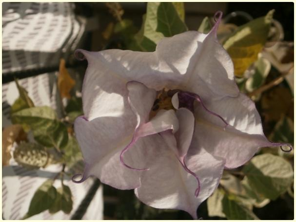 Name:  Datura sp..jpg