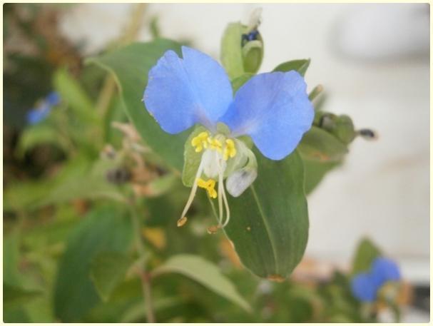 Name:  Yabani Telgraf Çiçeği, Asya Gün Çiçeği, Commelina communis.jpg Views: 1701 Size:  24.7 KB