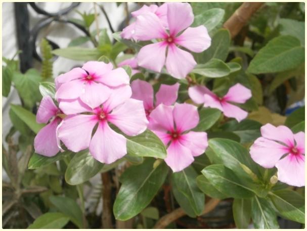 Name:  Catharanthus roseus - Rozet Çiçeği.jpg Views: 1722 Size:  39.1 KB