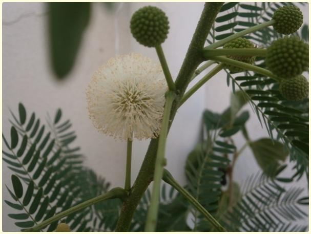 Name:  Ada Mimozası, Leucaena leucocephala, Acacia leucocephala.jpg Views: 1287 Size:  37.1 KB