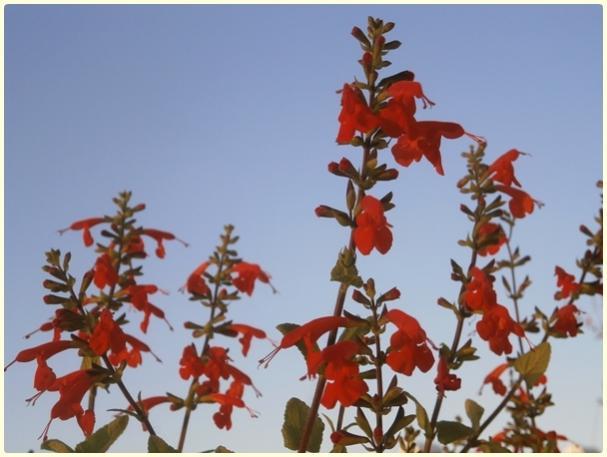 Name:  Kırmızı Adaçayı Çiçeği, Salvia coccinea.jpg Views: 1158 Size:  37.6 KB