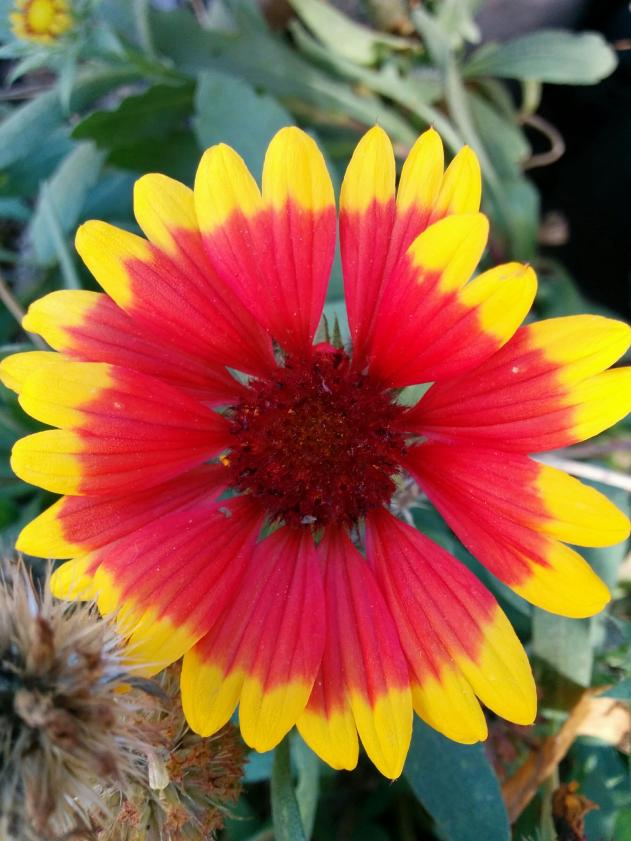 Name:  Gaillardia I.jpg