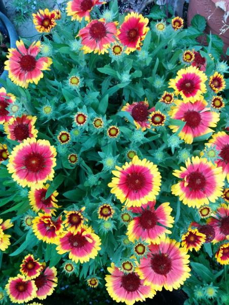 Name:  Gaillardia II.jpg