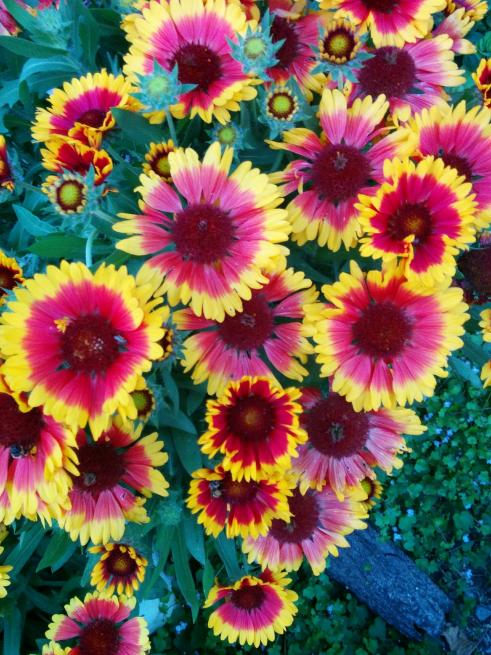 Name:  Gaillardia III.jpg