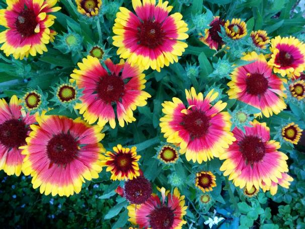 Name:  Gaillardia IV.jpg