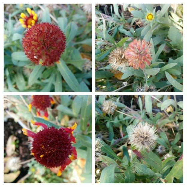 Name:  Gaillardia COLLAGE.jpg