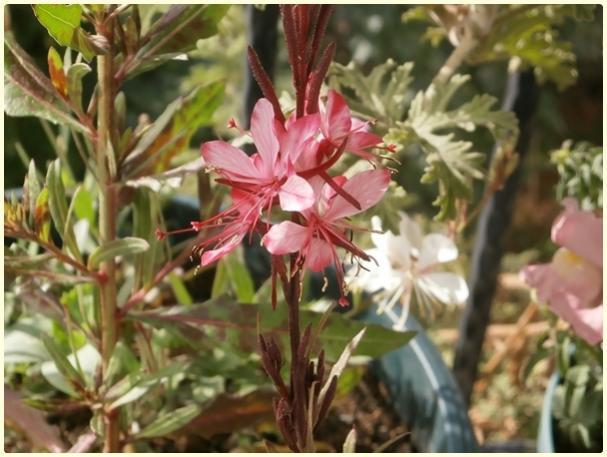 Name:  Gaura Çiçeği, Gaura lindheimeri.jpg Views: 1069 Size:  47.4 KB