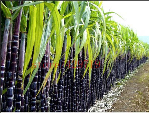 Name:  100-pcs-bag-SUGAR-CANE-SEEDS-2015-new-vegatable-seeds-for-home-garden-Healing-Medicinal-Vitamin..jpg Views: 617 Size:  64.2 KB