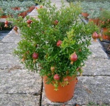 Name:  growing-pomegranate-trees-in-pots_mini.jpg