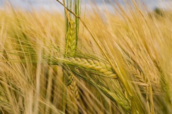 Name:  buğday.jpg Views: 296 Size:  39.2 KB