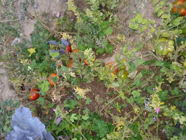 Name:  Büyükkalecik domatesi.jpg Views: 1343 Size:  71.5 KB