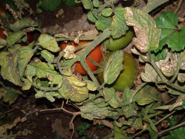 Name:  Büyükkalecik domatesi 1.jpg Views: 1337 Size:  64.8 KB