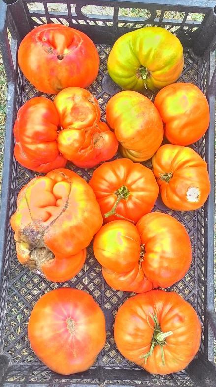 Name:  Tınaztepe domatesi kasa.jpg Views: 880 Size:  78.9 KB