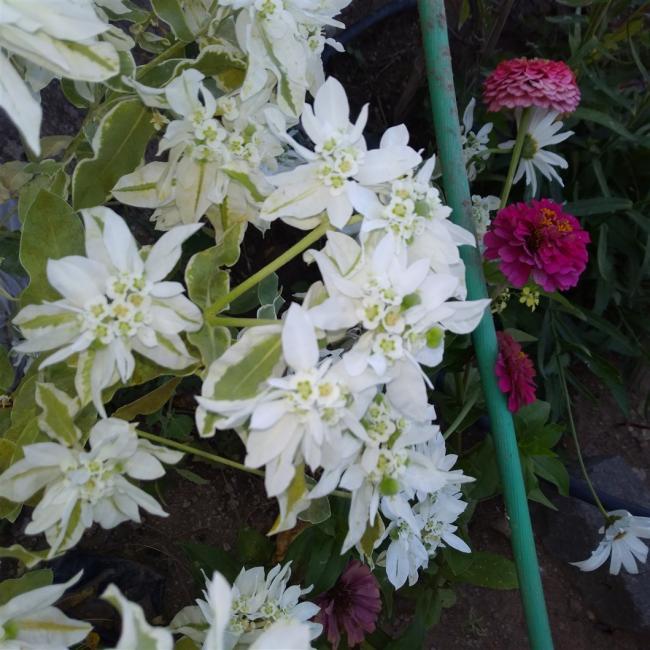 Name:  Euphorbia marginata (Üçüz çiçeği, Alacalı sütleğen).jpg Views: 1339 Size:  67.5 KB