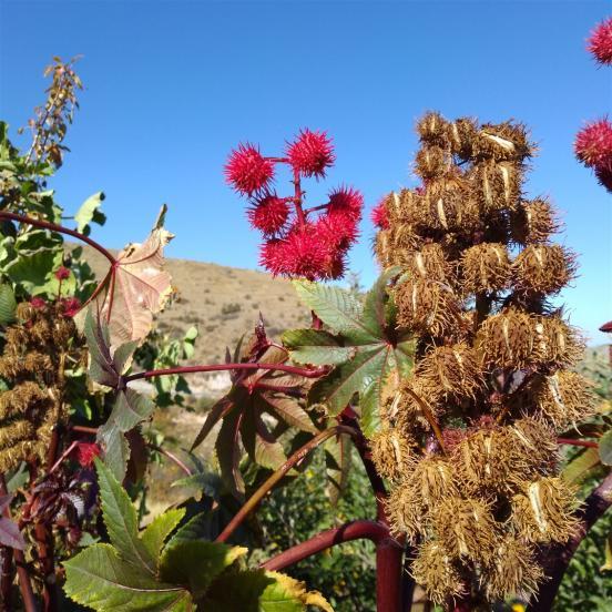 Name:  Hint yağı bitkisi.jpg Views: 853 Size:  72.9 KB