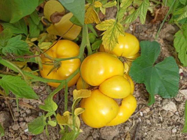 Name:  Afyonkarahisar Tazlar sarı domates.jpg Views: 780 Size:  51.4 KB