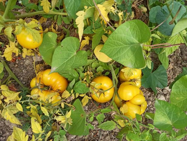Name:  Afyonkarahisar Tazlar sarı domates  1.jpg Views: 797 Size:  71.5 KB