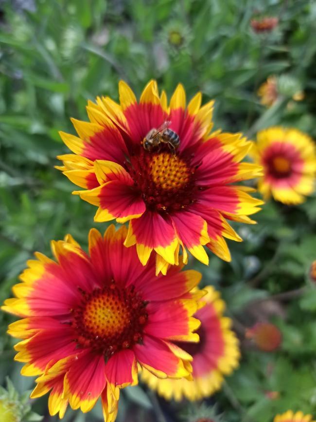 Name:  Gaillardia - Gayret Çiçeği 2.jpg Views: 611 Size:  68.8 KB