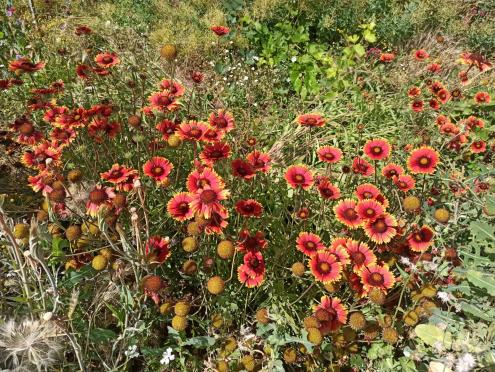 Name:  Gaillardia - Gayret Çiçeği 3.jpg Views: 616 Size:  72.9 KB