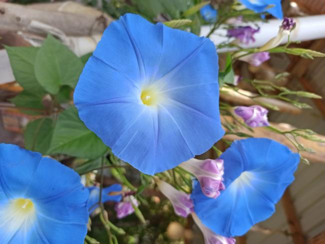 """Name:  Ipomoea tricolor """"Heavenly Blue"""" Morning Glory.jpg Views: 198 Size:  37.9 KB"""