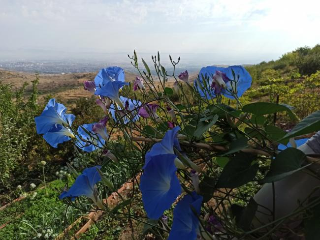 """Name:  Ipomoea tricolor """"Heavenly Blue"""" Morning Glory 2.jpg Views: 199 Size:  58.9 KB"""