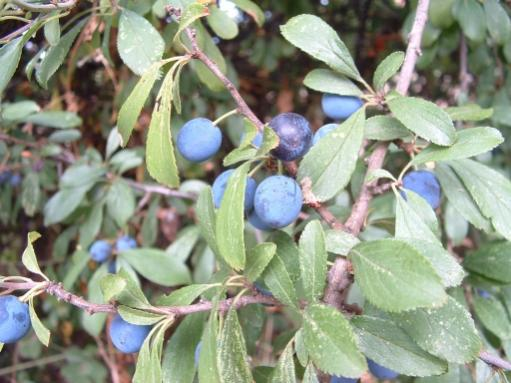 Name:  blackthorn_prunus_spinosa-o.jpg