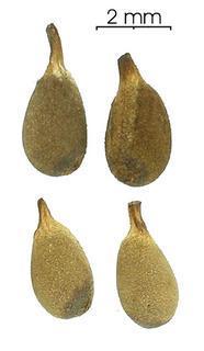 Name:  Ochroma_pyramidale_seed-dry,I_SP2332.jpg Views: 2620 Size:  8.0 KB