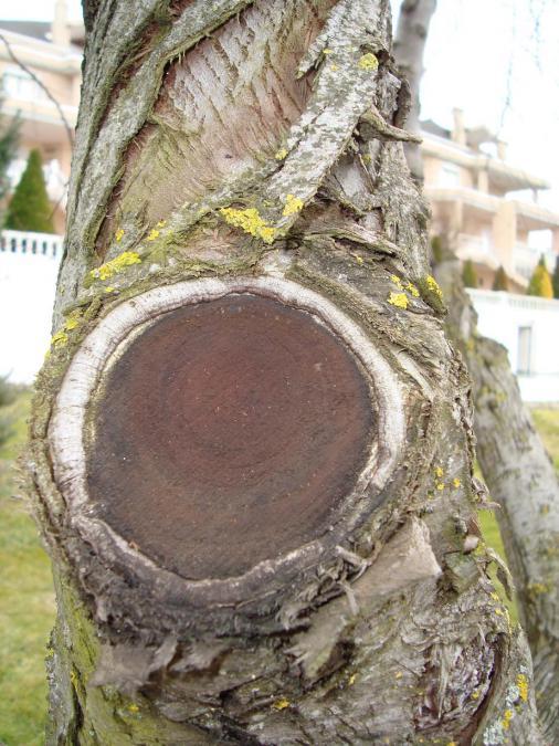 Name:  Ağaç gövde ve kökleri 27.jpg Views: 2931 Size:  74.3 KB