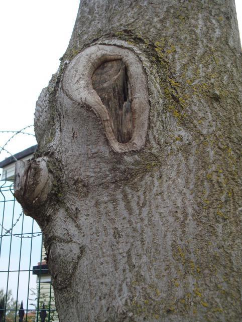 Name:  Ağaç gövde ve kökleri 88.jpg Views: 1624 Size:  71.1 KB
