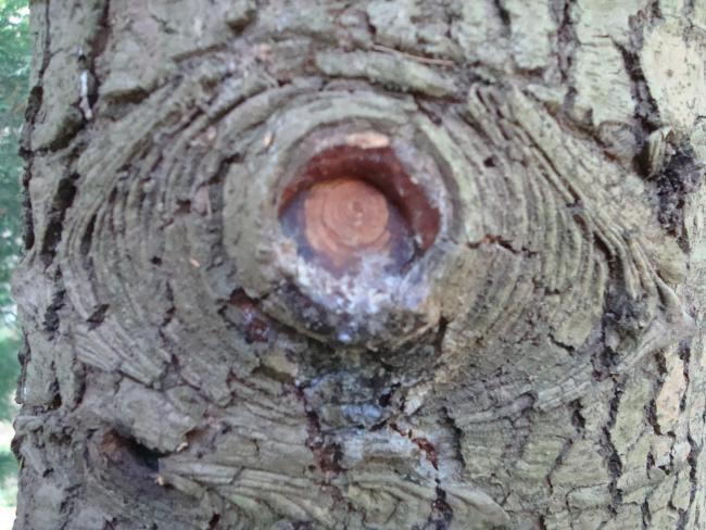 Name:  Ağaç gövde ve kökleri 90.jpg Views: 2202 Size:  61.0 KB