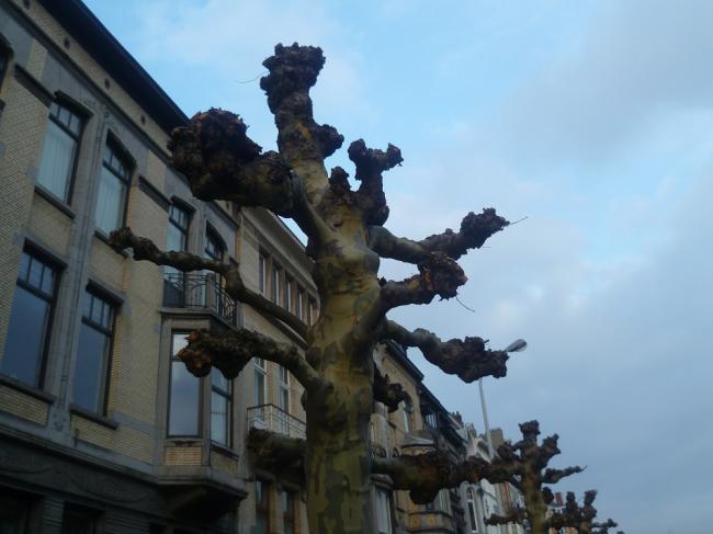 Çınar Ağacı Agaclar.