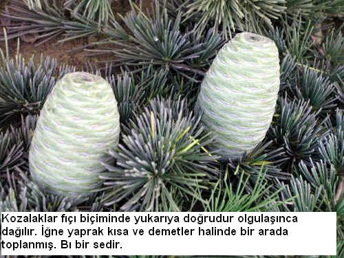 Name:  Cedrus_deodara_-_Cones__-_Point_Loma_University_-_San_Diego_-_7-2002[1].jpg