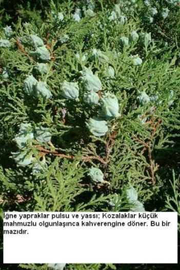 Name:  Thuja%20occidentalis[1].jpg