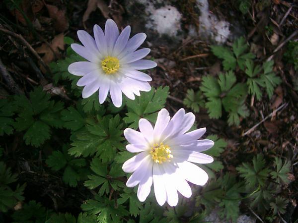 Name:  Anemone blanda.jpg Views: 1917 Size:  42.3 KB