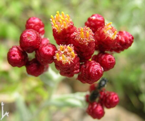 Name:  Helichrysum sanguineum2.jpg Views: 1449 Size:  48.1 KB