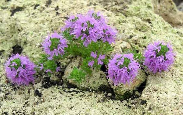 Name:  Thymus cilicicus3.jpg