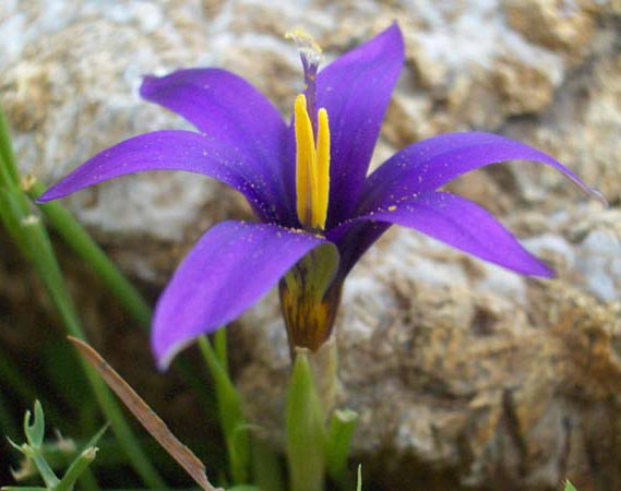 Name:  romulea11.jpg