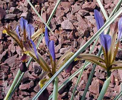 Name:  Iris_pamphylica.jpg Views: 3598 Size:  62.4 KB