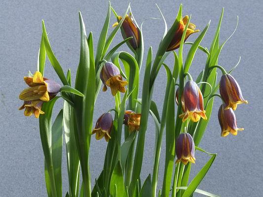 Name:  Fritillaria%20pinardii.jpg Views: 3480 Size:  45.3 KB